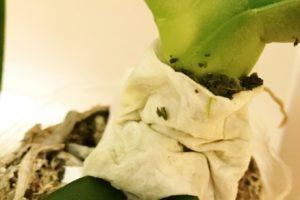 胡蝶蘭お茶がら治療