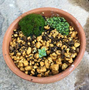 コケと多肉植物